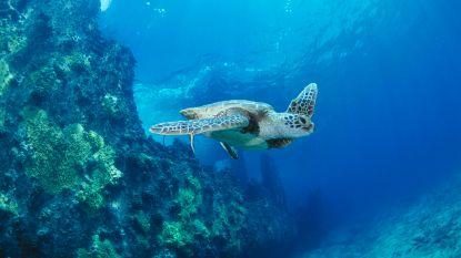 Zeeschildpad bedreigd: tot 99 procent zijn vrouwtjes door warmere oceanen