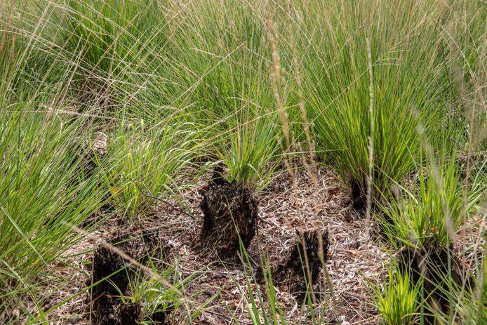 Oprukkend Pijpenstrootje op afgebrande Peelgrond in de Mariapeel