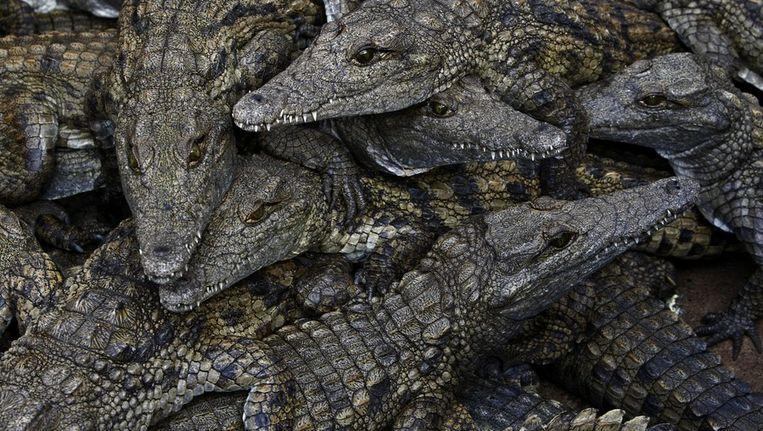 Jonge krokodillen op Clearwater Crocodile farm in Bloemfontein, Zuid Afrika in 2009. Beeld EPA