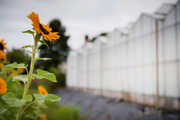 Zonnebloemen bij een kas in Nieuwaal. De herverkaveling van de tuinbouw in de Bommelerwaard is een plan van lange adem.