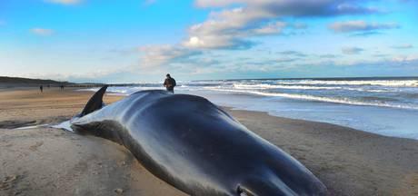 Potvis keert terug naar Domburg, dwergvinvis Neeltje Jans wordt onderzocht