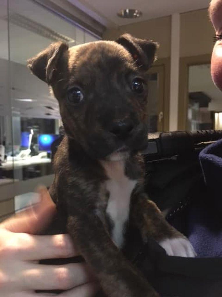 De boxer-puppy die in de Vingerlingstraat werd gevonden. Het hondje verblijft nu in een dierenopvangcentrum.