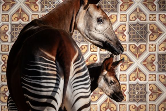 Okapi Ubundu