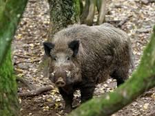 Faunabeheer wil meer zwijnen afschieten op Veluwe om schade te voorkomen