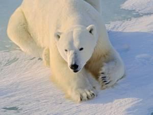 """Ours blancs à Pairi Daiza: """"C'est ce qui peut leur arriver de mieux"""", se défend le parc"""