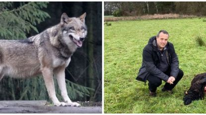 """Twee schapen van hobbyist doodgebeten door nieuwe rondzwervende wolf: """"Ik houd de rest van de kudde voorlopig op stal"""""""