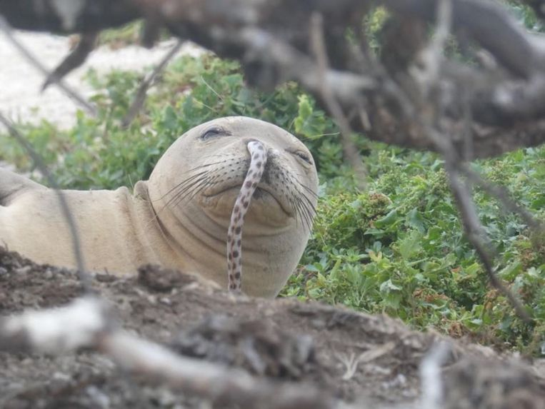 Onderzoekers troffen op een atol bij Hawaï een zeehond aan met een paling in zijn neusgat.