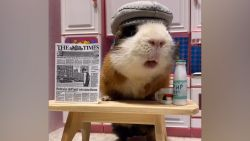 Cavia's staan model in hilarische outfits