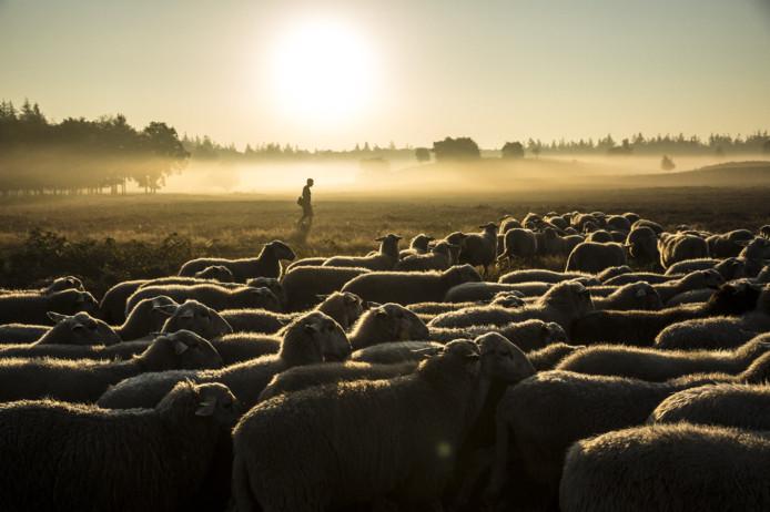Ochtendstond heeft goud in de mond op de schaapskooi in Heerde: Herder Lammert Niessing extra vroeg op pad tijdens de warmte.