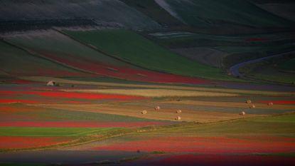 IN BEELD. Explosie van kleuren door bloementapijt in Italiaanse vallei