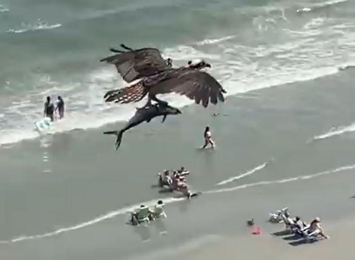 Un balbuzard pêcheur emporte un énorme poisson dans les airs.