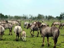 Naar Texel gebrachte konikpaarden uit het Oostvaardersveld naar de slacht