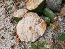 Heibel om 'illegale' kap van dennen in tuin Vaassen: 'Gemeente moet zich niet bemoeien met mijn tuin'