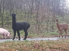Beestenboel in Ootmarsum: alpaca's en varken weer veilig thuis na ommetje