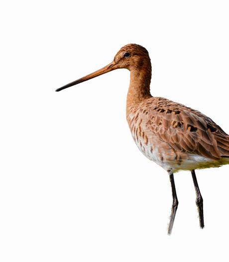 West-Brabant verliest zijn boerenlandvogels