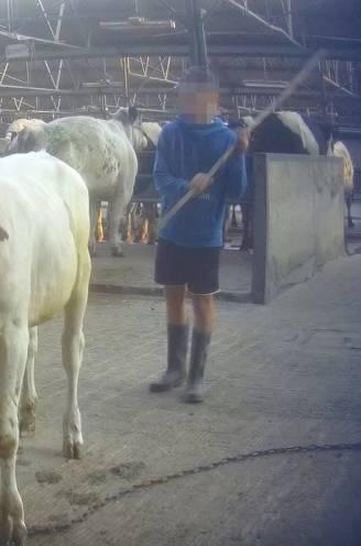 """20 jaar na gruwel filmt Gaia opnieuw wantoestanden op veemarkt, handelaars: """"Michel Vandenbosch mag komen tonen hoe het moet"""""""