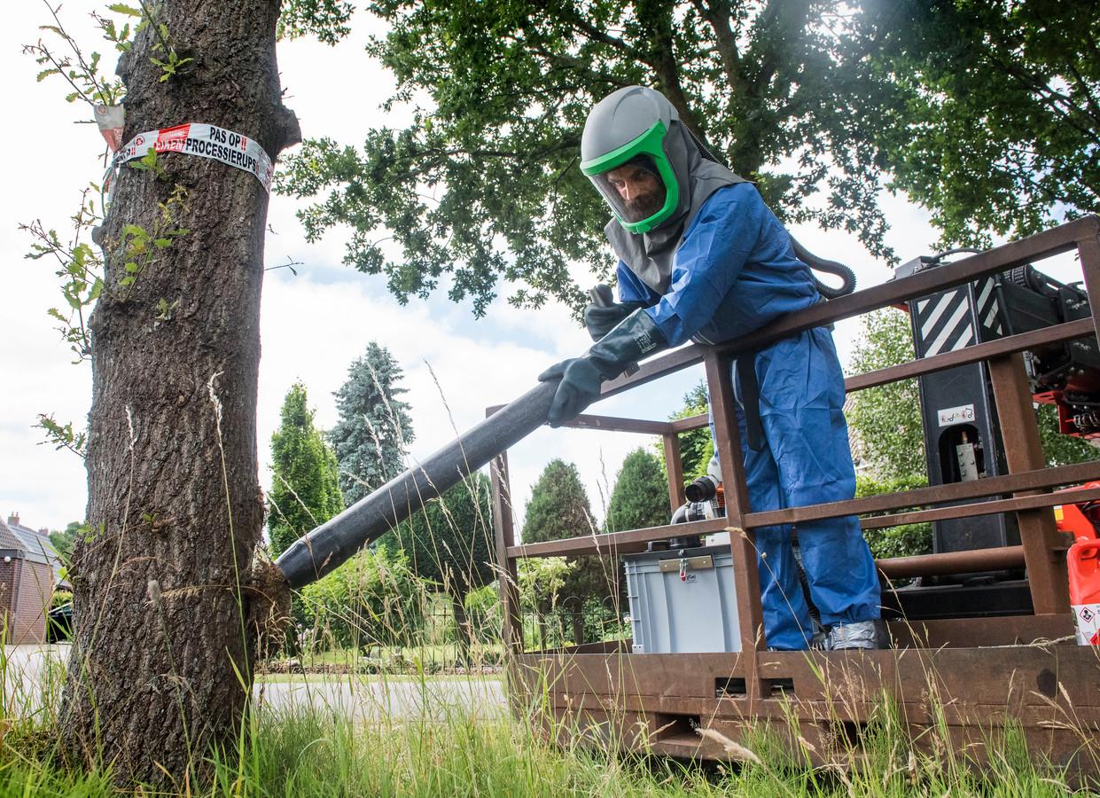 Een door de eikenprocessierups aangetaste boom wordt ontdaan van nesten.
