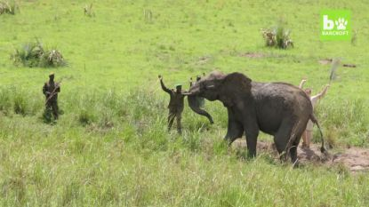 Een gruwelijke wonde van stropers wordt olifant bijna fataal, maar moedige dierenvrienden grijpen in