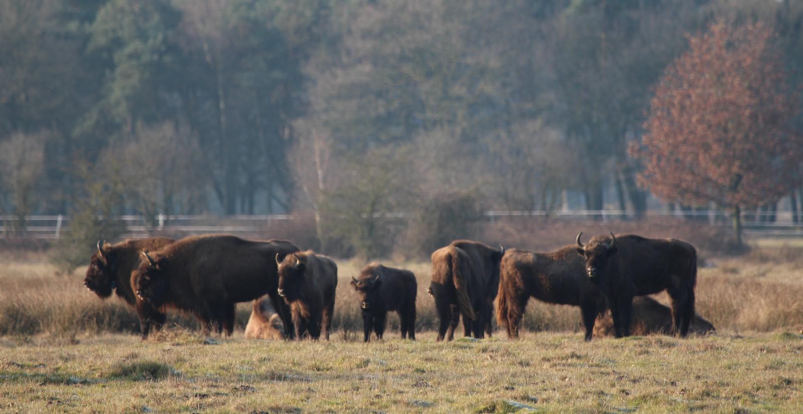 Grote grazers in de Maashorst