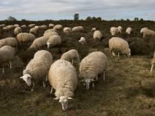 Waterschap Rivierenland: 'Haal schapen van de dijk'