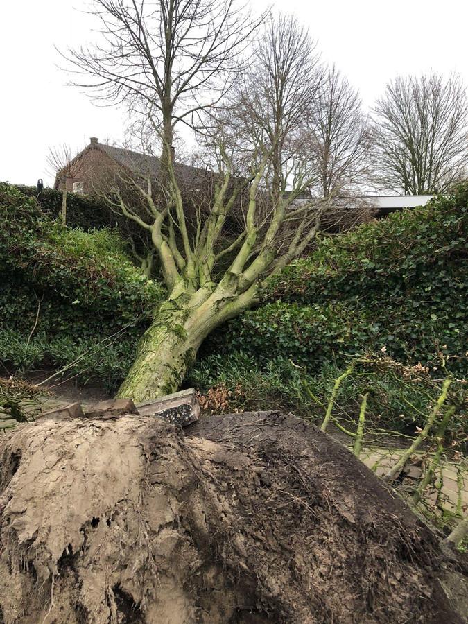 Een omgewaaide boom in de tuin van een bewoner aan de Dr. Tombrocklaan in Berkel-Enschot. De boom stond op gemeentegrond.