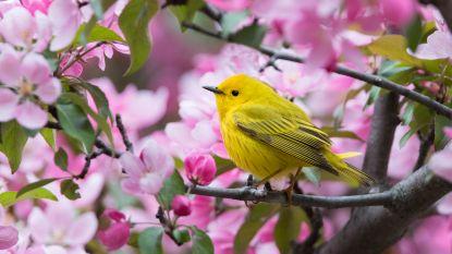 Absoluut dramatisch: op 50 jaar tijd drie miljard vogels verdwenen in Noord-Amerika (en is het in België ook zo erg?)