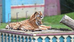 Bellewaerde moet afscheid nemen van Bengaalse tijgers Kiara en Mira