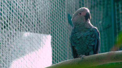 Pairi Daiza wil blauwe papegaai uit 'Rio' redden