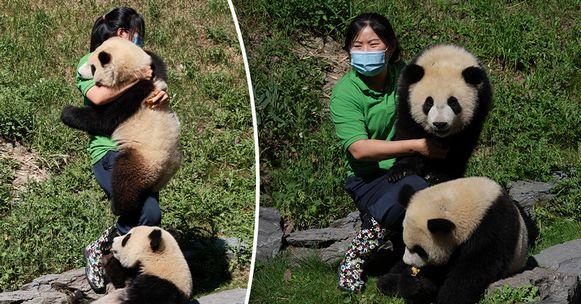 Liu Yang (34) ontfermt zich over de pandatweeling Bao Di and Bao Mei in Pairi Daiza.