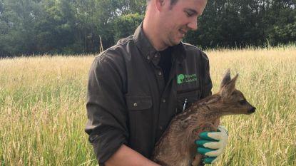 Boswachter redt zeven reekalfjes uit hoog gras vlak voordat boer begint met maaien