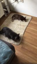 De chihuahua's van Sas Witjes die ziek op het tapijt liggen