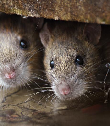 Werkatelier over rattenbestrijding in Bilthoven