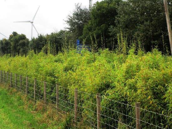 Experiment met bamboe van de provincie Noord-Holland in de gemeente Langedijk. De strook bamboe moet geluid van de nabijgelegen weg absorberen, is het idee. De bamboe is in oktober 2015 geplant en moest eerst groeien. In het voorjaar van 2017 worden de eerste metingen gedaan.