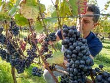 'Fantastische wijnoogst in Grijpskerke dankzij de zomer'